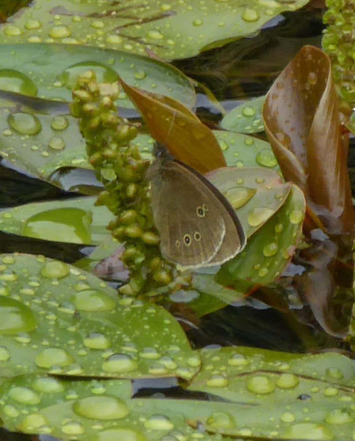 Ringlet Butterfly on Broad-leaved Pondweed