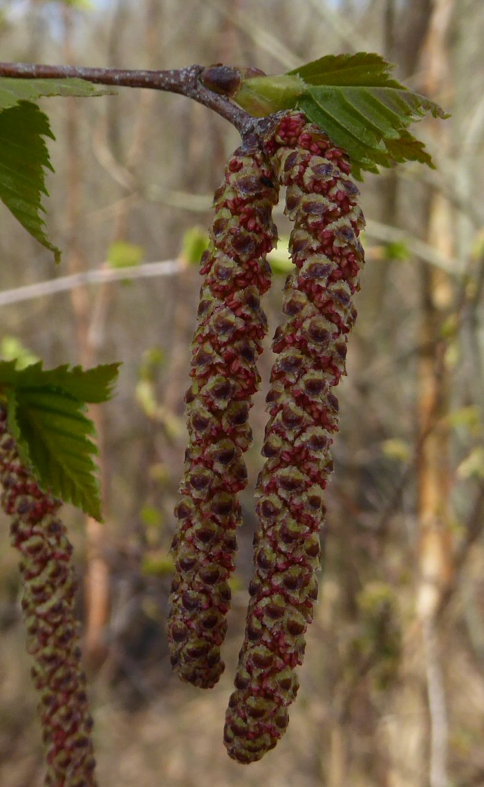 Male Silver Birch catkin