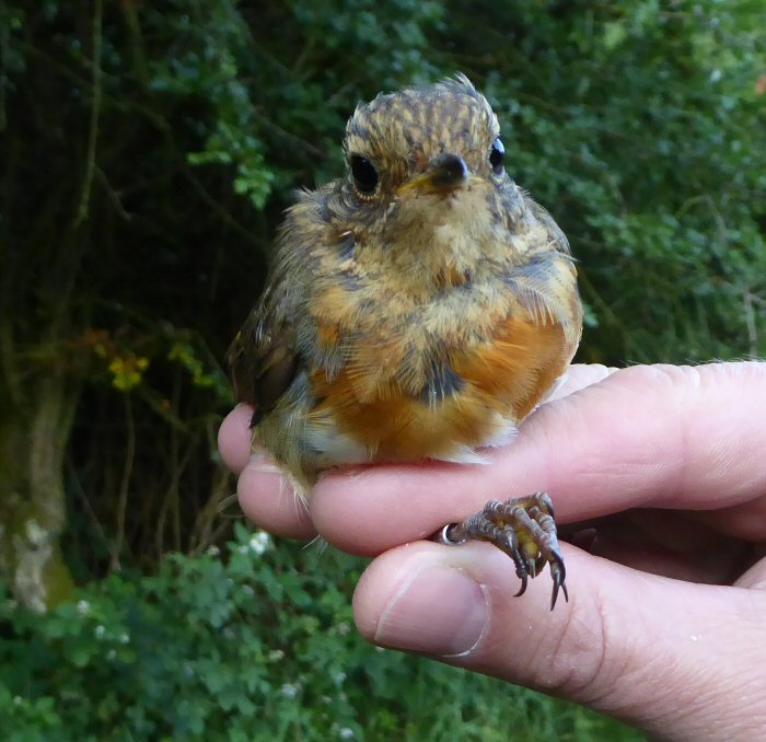 Juvenile Robin with developing red breast