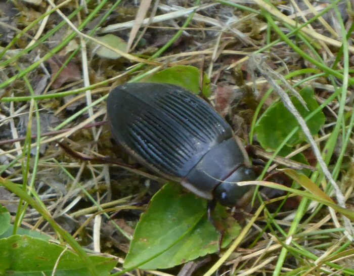 Great Diving Beetle - female