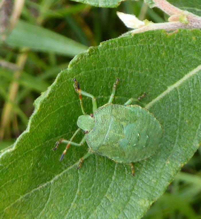 Common Shield bug