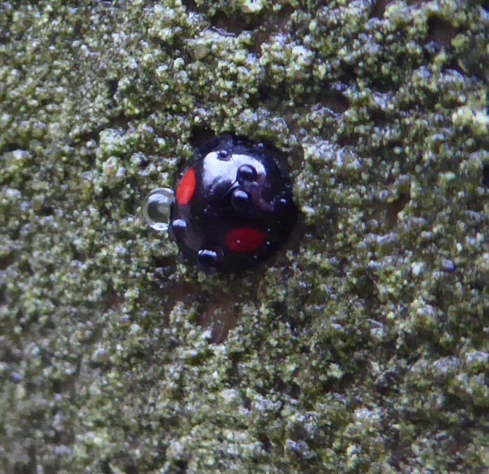 Water droplet covered Kidney Spot Ladybird