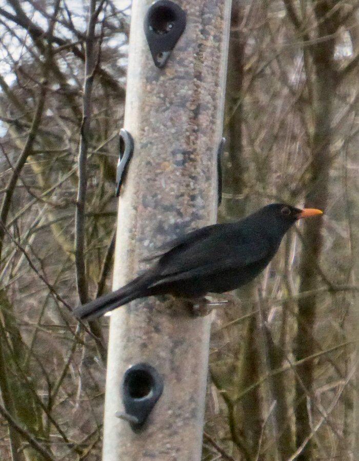Blackbird on Feeder