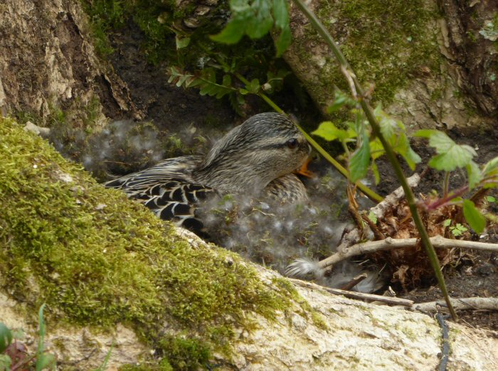 Mallard nesting