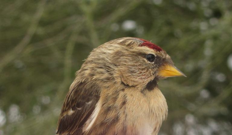 redpoll female