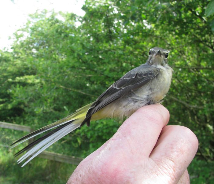 Grey Wagtail in the hand