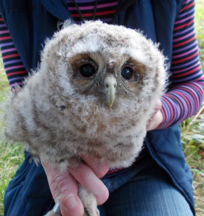 Very Observant owlet