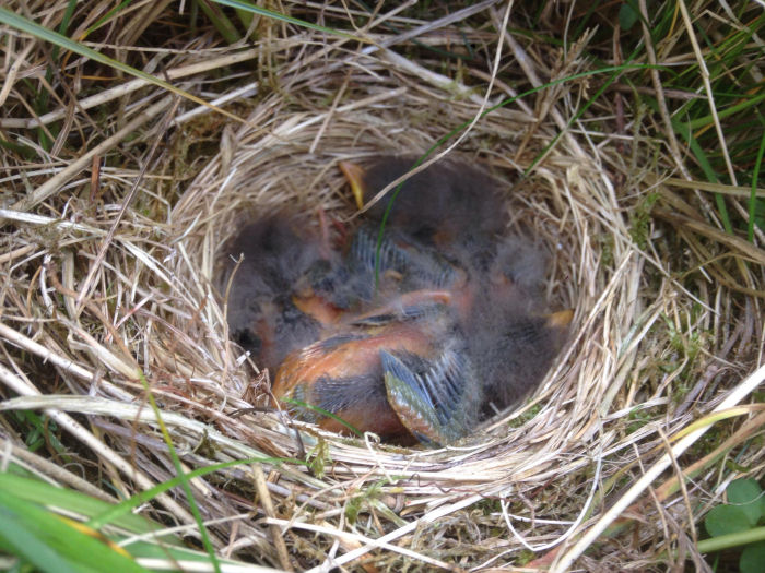 Meadow Pipit nest