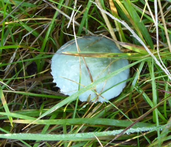 Verdigris Agaric - a fungus