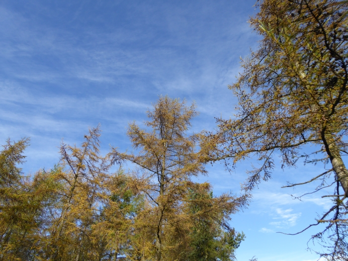 Larch trees turning yellow