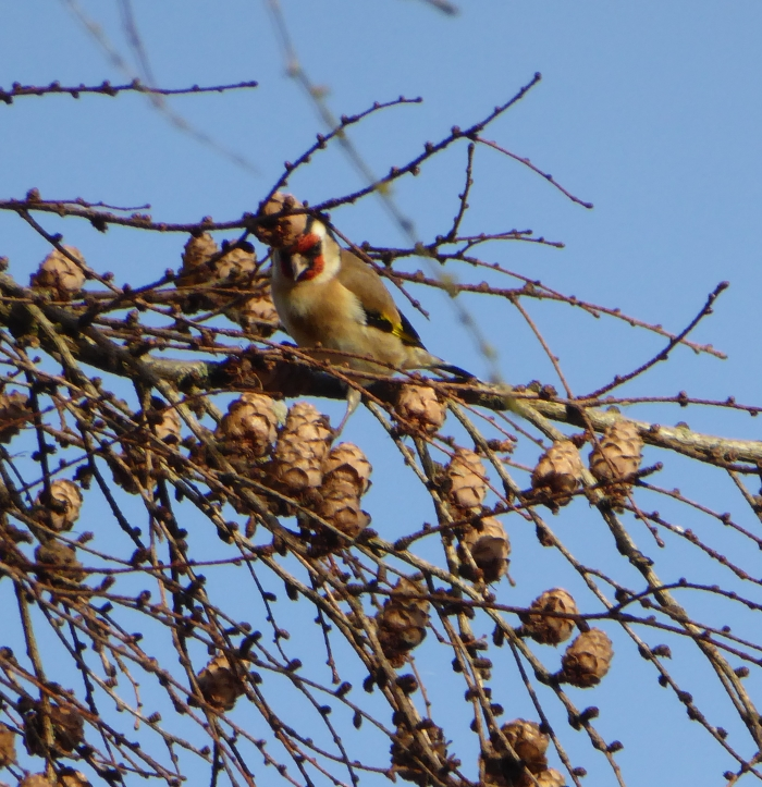 Goldfinch feeding on Larch seeds