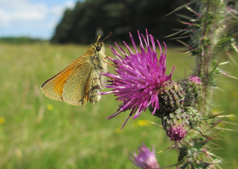 Small Skipper on Marsh Thistle