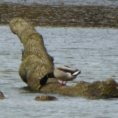 Mallards make use of the tree in the lake